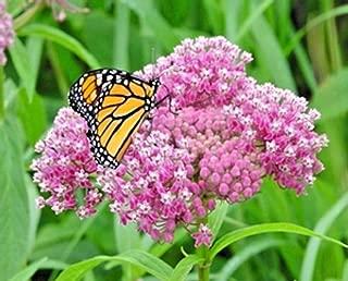 Cutdek 100+Swamp/Rose Milkweed Seeds Monarch Butterflies American Native Wildflower