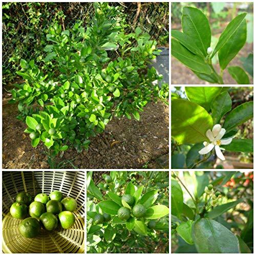 PLAT FIRM GERMINATIONSAMEN: Calamansi Calamondin Lime SEEDS zwanzig (20) Organisch gewachsen Frei, fasten Schiff!