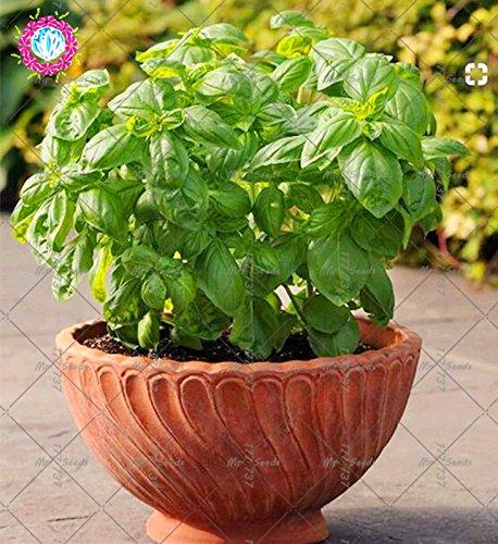 200pcs Bonsai basilic Graines Légumes bio Graines vert et sain doux Ocimum basilicum graines pour le jardin des végétaux