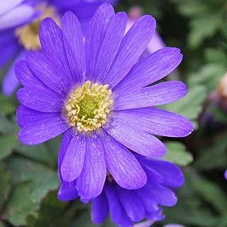 ANVIN Seeds Package: X Humphreys Garden Anemone Blanda Shade Corms Pretty Flowers