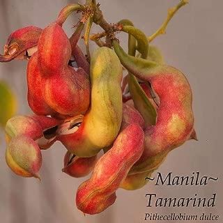 Guamuchil Pithecellobium Dulce Red Manila Tamarind Madras Thorn Sml Potd Plant HD7