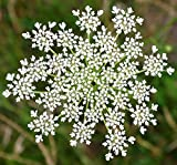 UtopiaSeeds Queen Anne's Lace - Ammi Majus - Bishop's Weed - Florist's Favorite - Approximately 5,000 Seeds