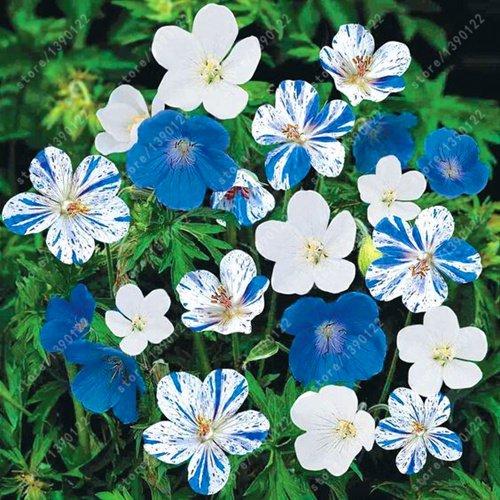 100 piezas/bolsa de semillas de geranio azul, novel bonsái flor semillas perenne pelargonium Peltatum maceta para jardín hogar 1