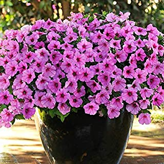 5 Pack of 10 Flower Seeds Easy Wave Pink Passion Trailing Petunia Seeds