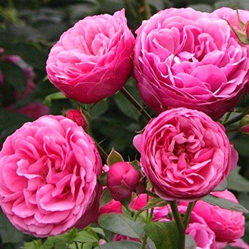 'Pomponella' -R-, Beetrose, ADR-Rose im 4 Liter Container