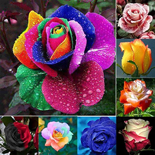 Tomasa Samenhaus- 100 Stück Regenbogen Rose Blumen Samen, mehrjährig winterhart Duftende Rose Samen Blumen Saatgut für Balkon,Garten