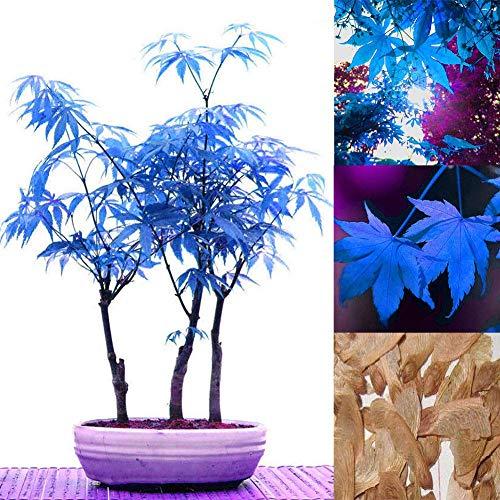 Potseed Multicolor: 30X Seeds Maple Blue Tree Japanese Rare Palmatum Atropurpureum Acer Plant