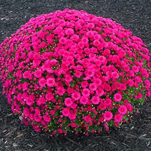 100Pcs Chrysanthemum Seeds Ground Cover Perennial Bonsai Flower Seeds Daisy Potted Plant Morifolium Seeds for Home Garden