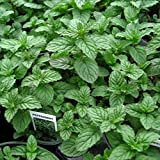 Clovers Garden Peppermint Mint Herb Plants- Non GMO- Two (2) Live Plants - Not Seeds -Each 4'-7'Tall- in 3.5 Inch Pots