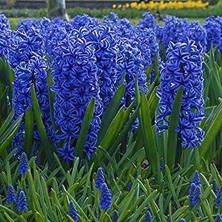 Nuevos 100pcs color mezclado bonsai jacinto de bulbos de flores raras no beautifl flores perennes de interior para el hogar jardín s Light Blue 1 (sólo semillas)