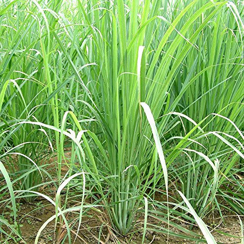 Lemongrass Seeds (Cymbopogon citratus) Packet of 50 Seeds