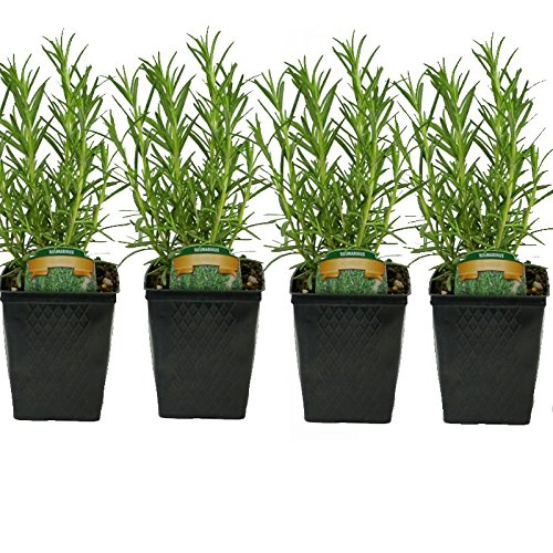 Stargazer Perennials Rosemary Herb Plants Set of 4...
