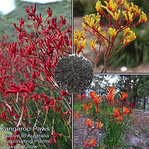 ypypiaol 200 Stück Gemischte Farbe Anigozanthos Samen Känguru Pfote Blumen Pflanze Garten Outdoor Dekor Anigozanthos Samen