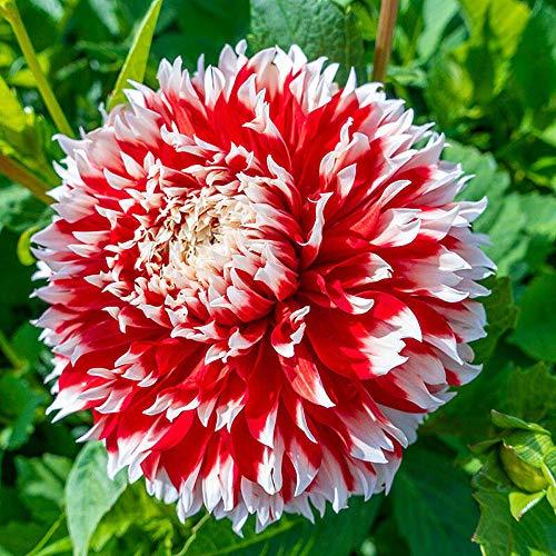 Dahlien-Blumenzwiebeln, modisches Geschenk, Balkon, starke Wurzeln, niedlich, atemberaubend, 1 Dahlie-Blumenzwiebeln.