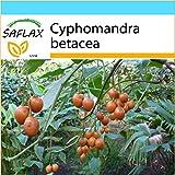 SAFLAX - Set regalo - Tomate de árbol - 50 semillas - Con caja regalo/envío, etiqueta para envío, tarjeta de felicitación y sustrato de cultivo y fertilizante - Cyphomandra betacea