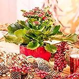 "Qulista Samenhaus - Rarität 50pcs Exotisch Sukkulent Rote Kalanchoe ""Flammendes Käthchen"" in knallrot Zimmerpflanzen Blumensamen winterhart mehrjärhig immergrün"