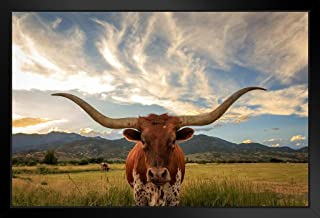 Texas Longhorn Bull Standing in Pasture Close Up Photo Black Wood Framed Art Poster 20x14
