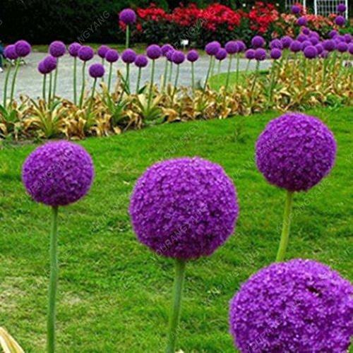 30pcs / sac géant oignon (Allium giganteum) graine rare bonsaï belle fleur plantes en pot de fleurs jardin Livraison gratuite Blanc