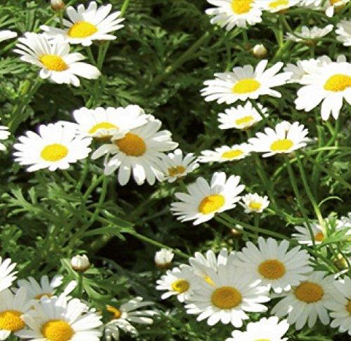 Margeriten Zwerg Margeriten weiß einjährig Höhe 20 cm Samen