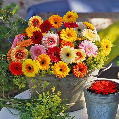 Attractive African daisy