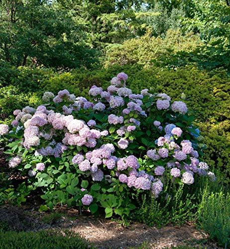 Hortensie Cloudi 30-40cm - Hydrangea...