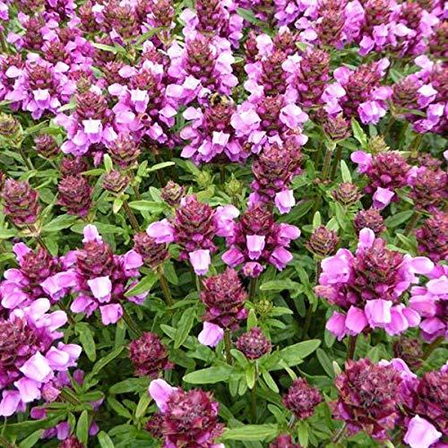 4 x Prunella Webbiana 'Rosea' - Brunel pot 9cm x 9cm
