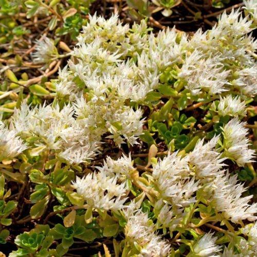 tapis blanc de sedum 157 graines inhabituelles fleurs blanches, un must have