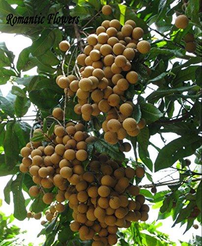 5 graines/Pack, Rare Nain longane Sri Chompoo Aka Dragon Eye Graines de fruits exotiques