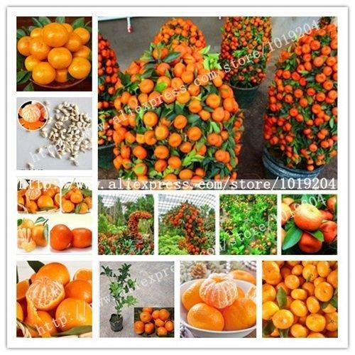 Graines Fruits comestibles pot Bonsai Escalade Orange Tree Seeds 50 pcs/paquet C58