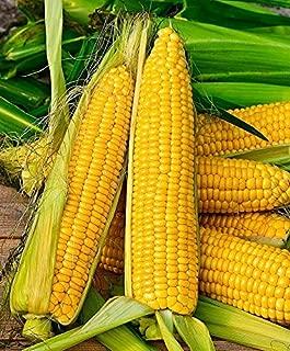 BIO Lot de 50 graines de maïs doux