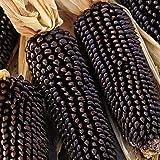 Granos végétales1 Sac de graines de maïs Naturel Léger Léger Graine de maïs rustique pour jardin - Graines de maïs noir