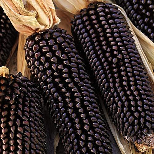 Semillas de maíz negro, 1 bolsa de semillas de maíz dulce natural ligero de maíz rústico Ideal Semilla para jardinería regalo al aire libre