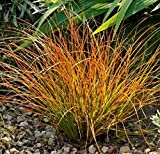 1 x Carex testacea 'Praerie Fire' 1 Liter (Ziergras/Gräser/Stauden) Segge ab 3,19 € pro Stück