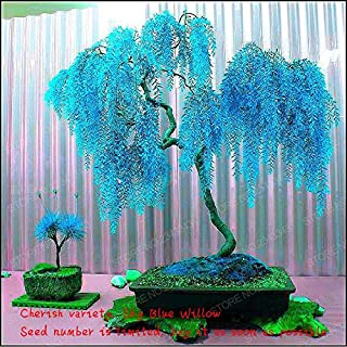 sky blue willow bonsai