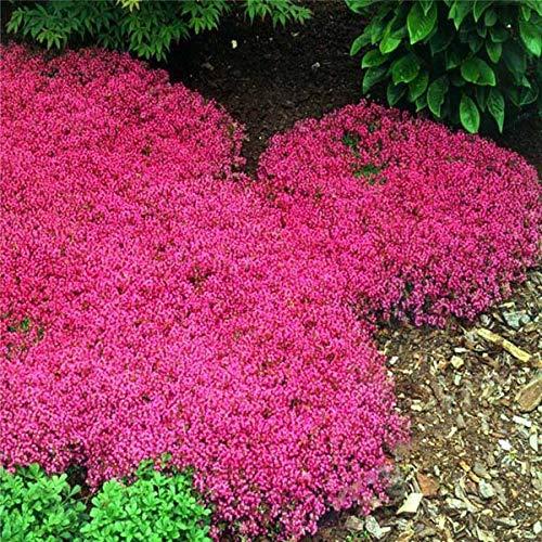 SANHOC Kriechender Thymian oder Mehrfarben-Felsen-Kresse Bonsai - Perennial Blume Bodendecker Blume Gartenpflanzen 40 Stück A026: Mehrfarbig