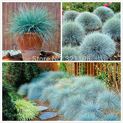 100 Bleu fétuque Seeds - (Festuca glauca) vivace herbe ornementale si facile à cultiver