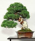 CHINESE Juniper - 50 semillas - Juniperus chinensis BONSAI
