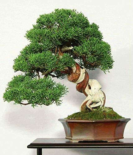 CHINOIS JUNIPER - 50 graines - Juniperus chinensis BONSAI