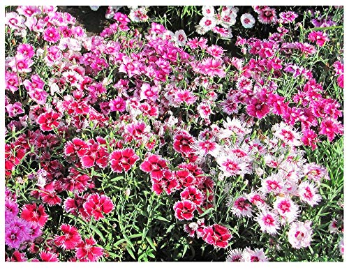 Large Flowered Dianthus Mix Seeds