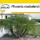 SAFLAX - Set de cultivo - Palmera datilera enana - 25 semillas - Con mini-invernadero, sustrato de cultivo y 2 maceteros - Phoenix roebelenii