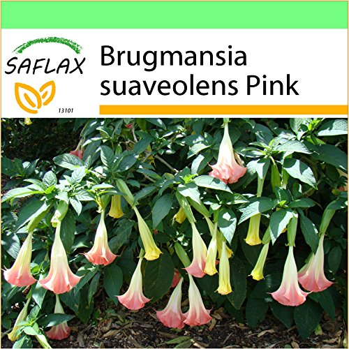 SAFLAX - Garden to Go - Trombone d'angelo rosa - 10 semi - Brugmansia suaveolens Pink