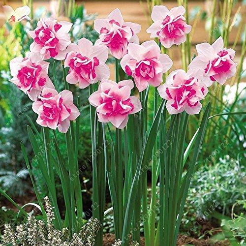 100 pcs / sac fleur de narcisse, graines Bonsai de plantes aquatiques doubles pétales rose jonquille graines graines de fleurs pour la maison jardin
