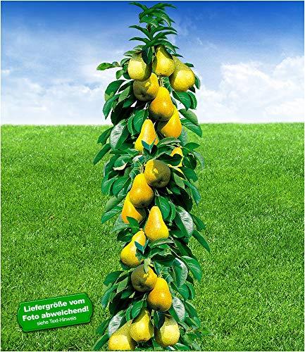 BALDUR-Garten Säulen-Birnen 'Concorde®', Birnenbaum 1 Pflanze Pyrus communis