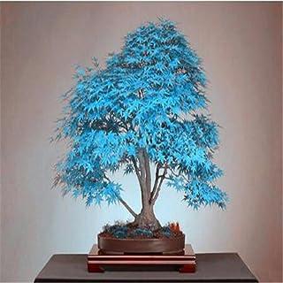 semillas del árbol de arce azul 10 bonsai semillas de árboles bonsai. azul cielo rara japoneses plantas de semillas de arc...