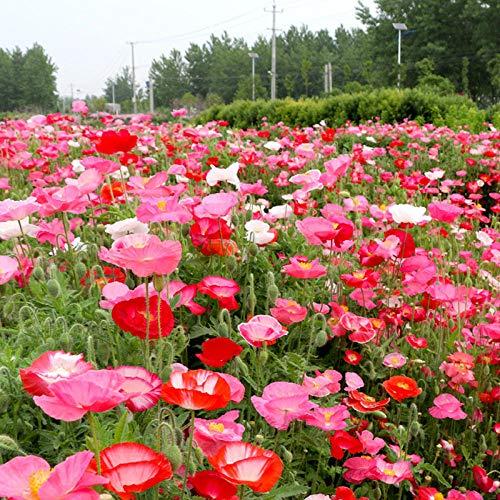 XINDUO Jardin Graines,Quatre Saisons graines de Fleurs de beauté de maïs faciles à Vivre-Red_10 Capsules,Rare graines de Multicolor
