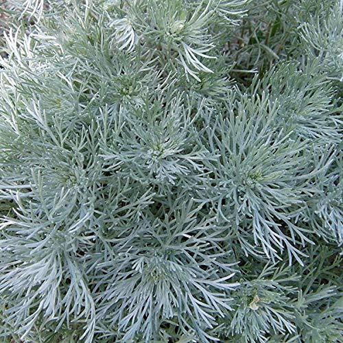 4 x Artemisia Schmidtiana 'Nana' - Bijvoet pot 9cm x 9cm