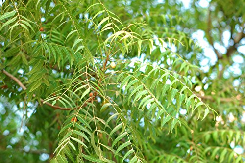 Neembaum Azadirachta indica Pflanze 5-10cm Neem Niembaum Neempflanze Rarität