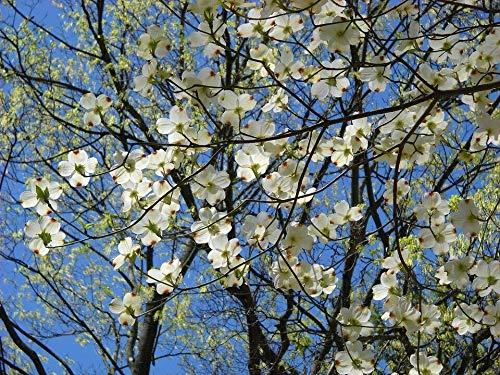 Blüten-Hartriegel Cornus florida Pflanze 25-30cm Amerikanischer Blumenhartriegel