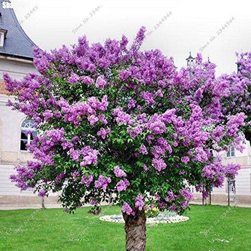 150pcs / sac exotique Lilas Graine extérieure vivace jardin aromatique Girofle Fleur ornementale Arbre Plante pour Pot de fleurs Planters
