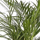 Areca maceta 14cm. - Altura total aprox.60cm. - Planta viva - (Envío...